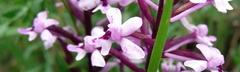 Orchidea Branciforti (orchis quadripuctata)